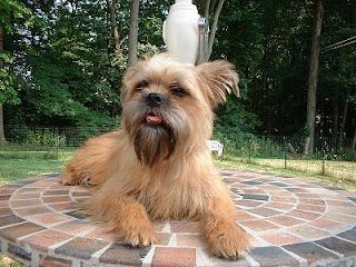 Gambar Anjing Affenpinscher