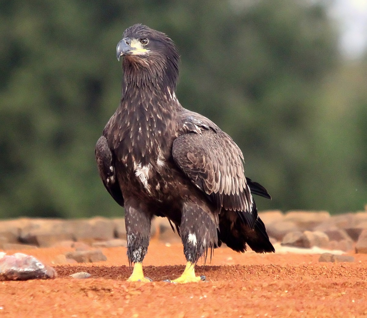 A YOUNG EAGLE
