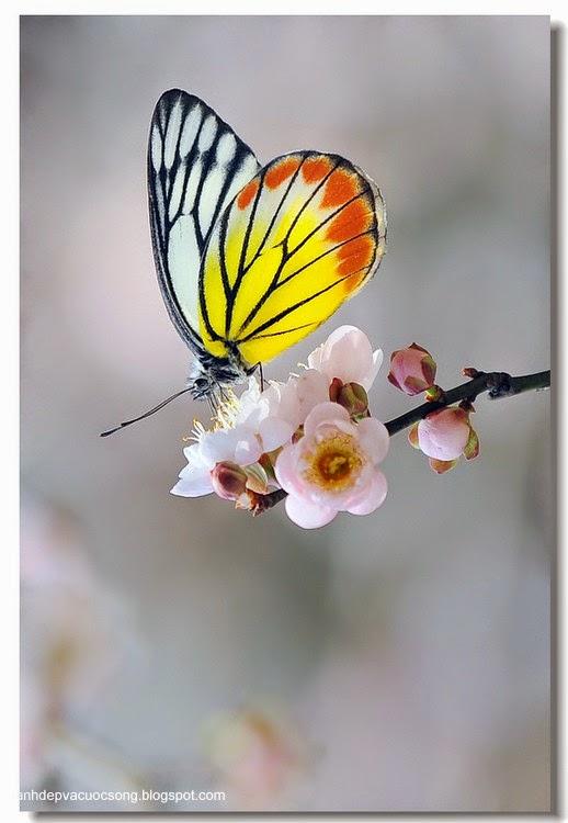 Con bướm xuân 1