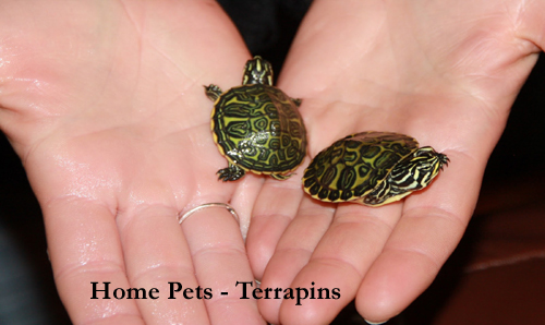 Terrapin Pet : Home Pets Page: Home Pets - Terrapins as Pets