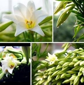 Cách trồng và chăm sóc hoa loa kèn