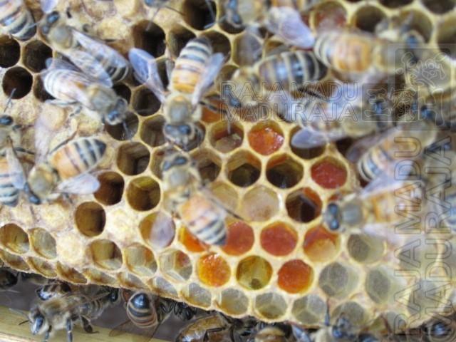 Terdapat Cukup Pakan Bee Pollen dan Madu