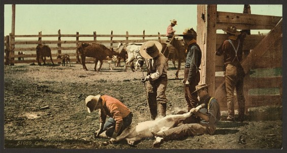 Branding cattle in the old west