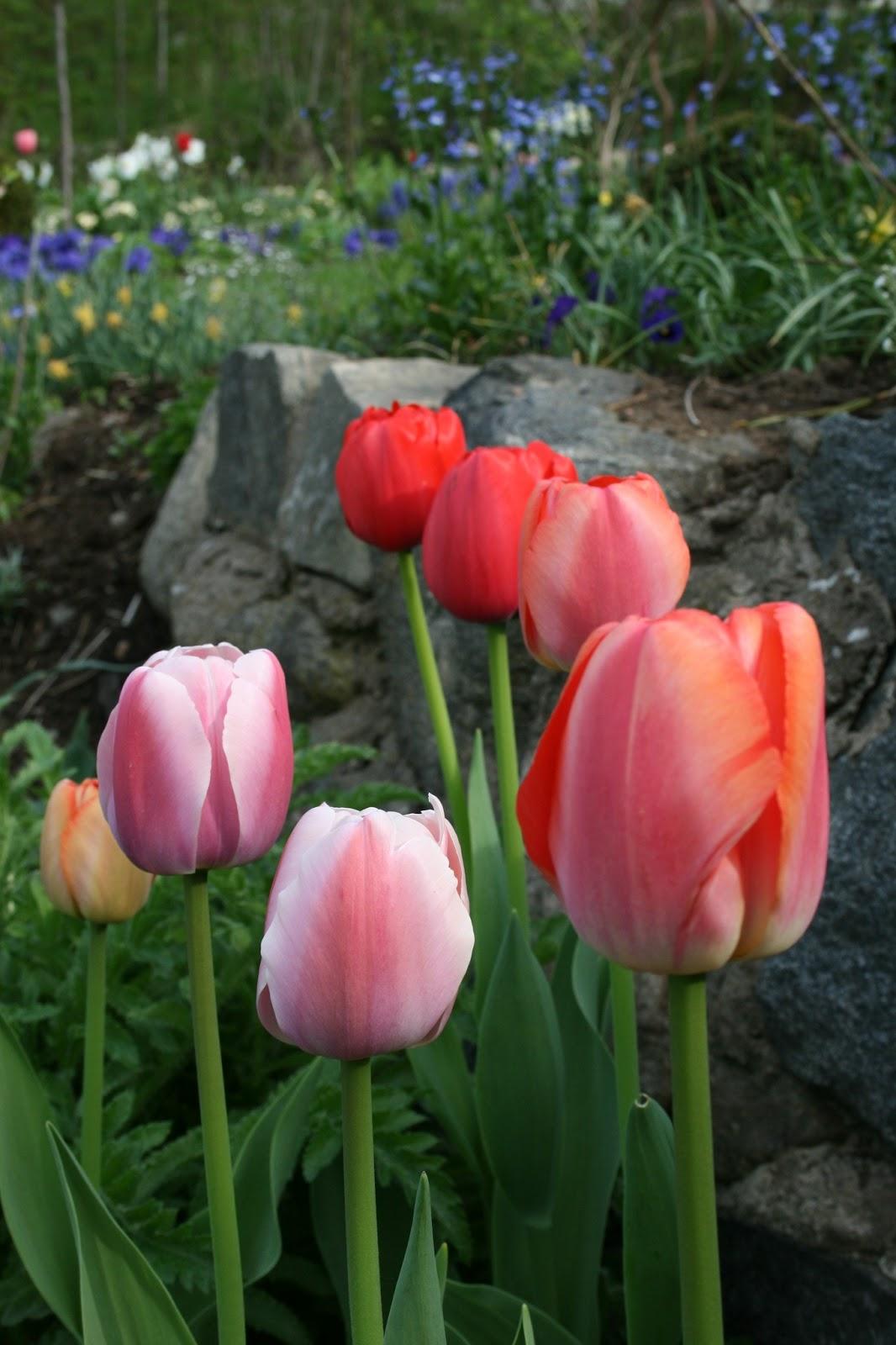 tulpaner tulpanens dag trädgårdsblogg