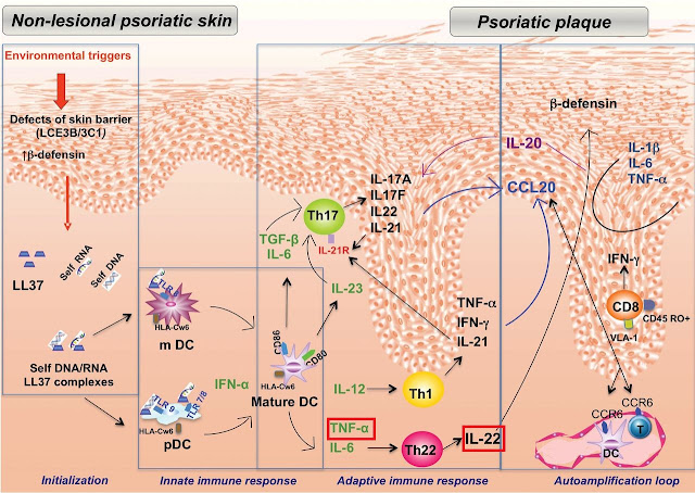 Psoriasis inflammatory pathway: Image credit: www.clinsci.org