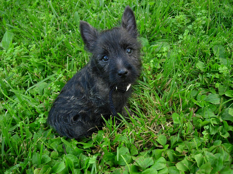 Cairn Terrier Puppies Desktop Background