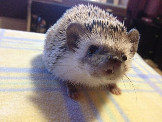dracula hedgehog, funny animal pictures, animal photos, funny animals