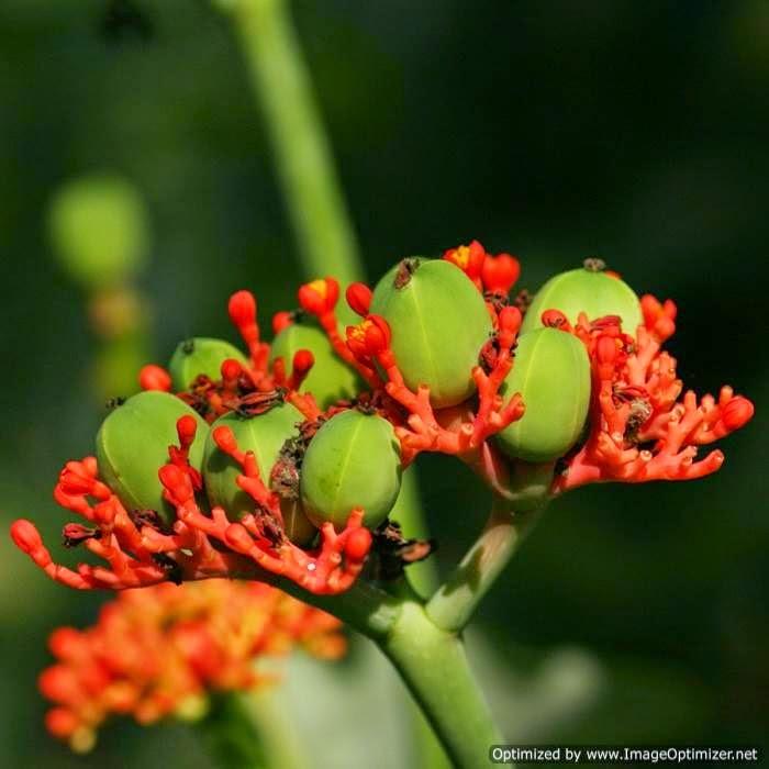 Jarak Bali (Jatropha podagrica Hook.)
