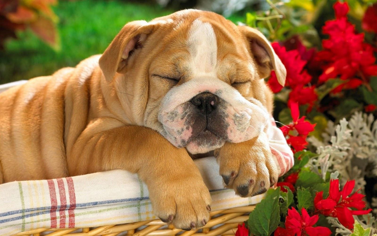 http://1.bp.blogspot.com/-oHOBw7yTU0E/T5_zd_fkmcI/AAAAAAAAB2U/m1-yvGPkRKY/s1600/lazy_dog-1680x1050.jpg