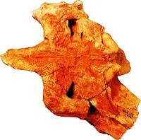 shieldcroc skull