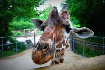 Memphis Zoo, Animals, Giraffe, Wild, Summer, Fun, Vacation, Travel