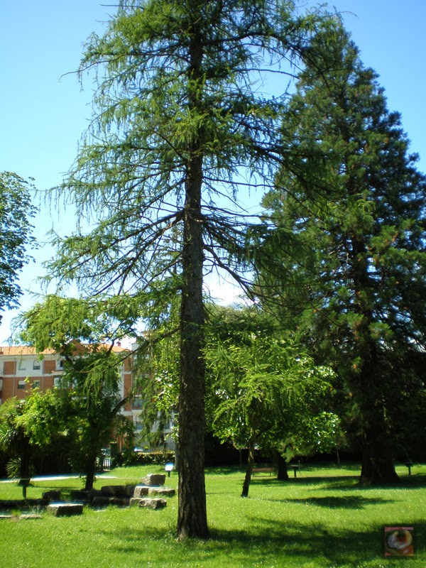 Alerce Dunkeld del parque Arenatzarte en Güeñes (Bizkaia)