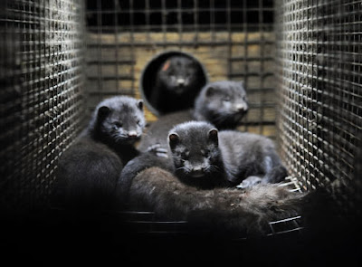 captivity mink farming