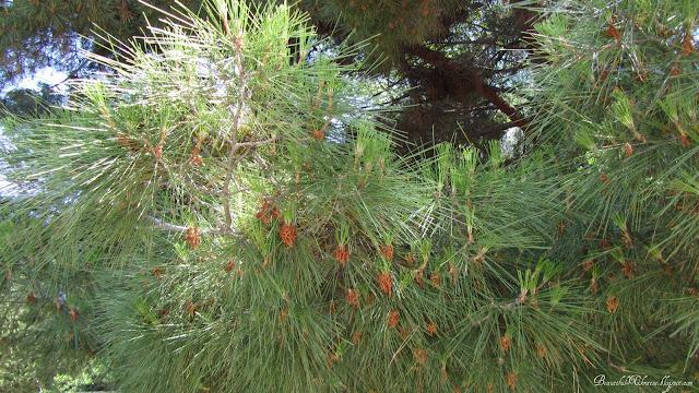 Деревья бухта Ласпи