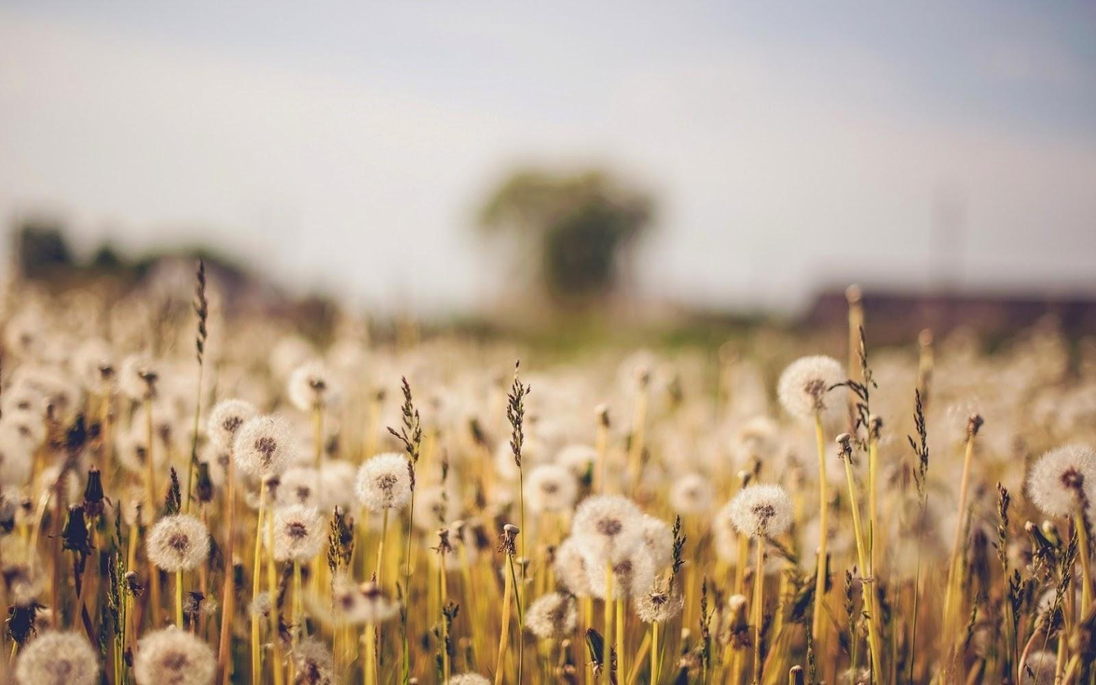 Dandelion Seeds Dandelion