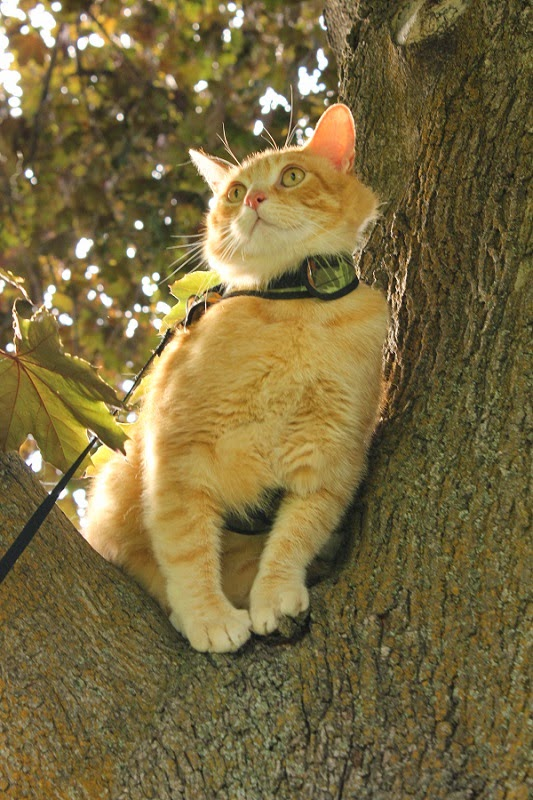 Petoodles- High quality cat harnesses.
