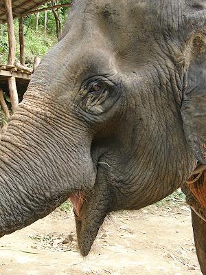 Éléphant à Koh Lanta