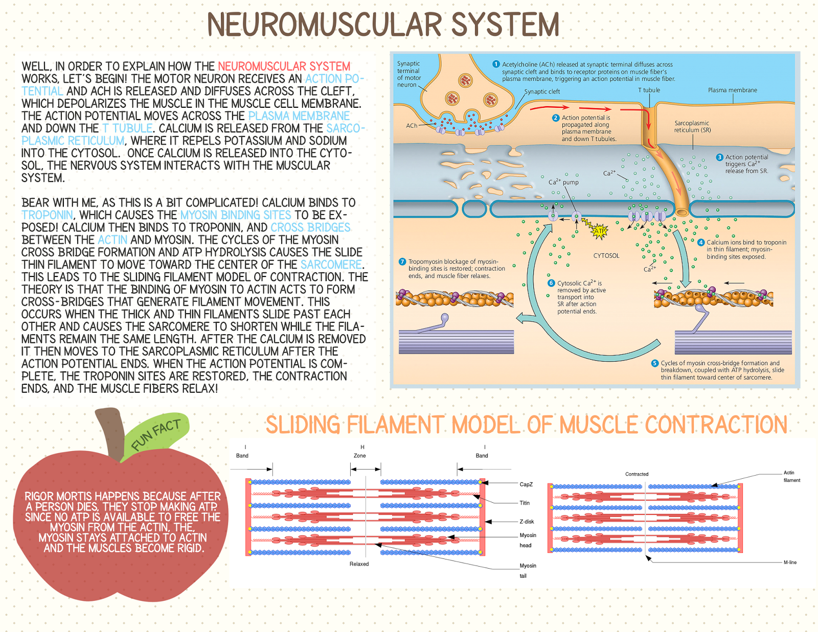 the neuromuscular system Functional connectivity in the neuromuscular system underlying bimanual coordination ingmar e j de vries,1 andreas daffertshofer,1 dick f.