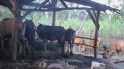 sapi pada kandang