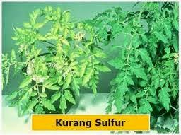 kekurangan-unsur-hara-sulfur-produk-organik-nasa-distributor-resmi