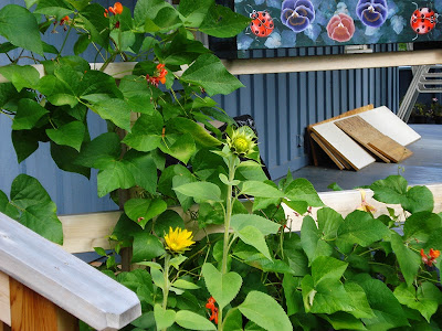 sunflowers and scarlet runner beans