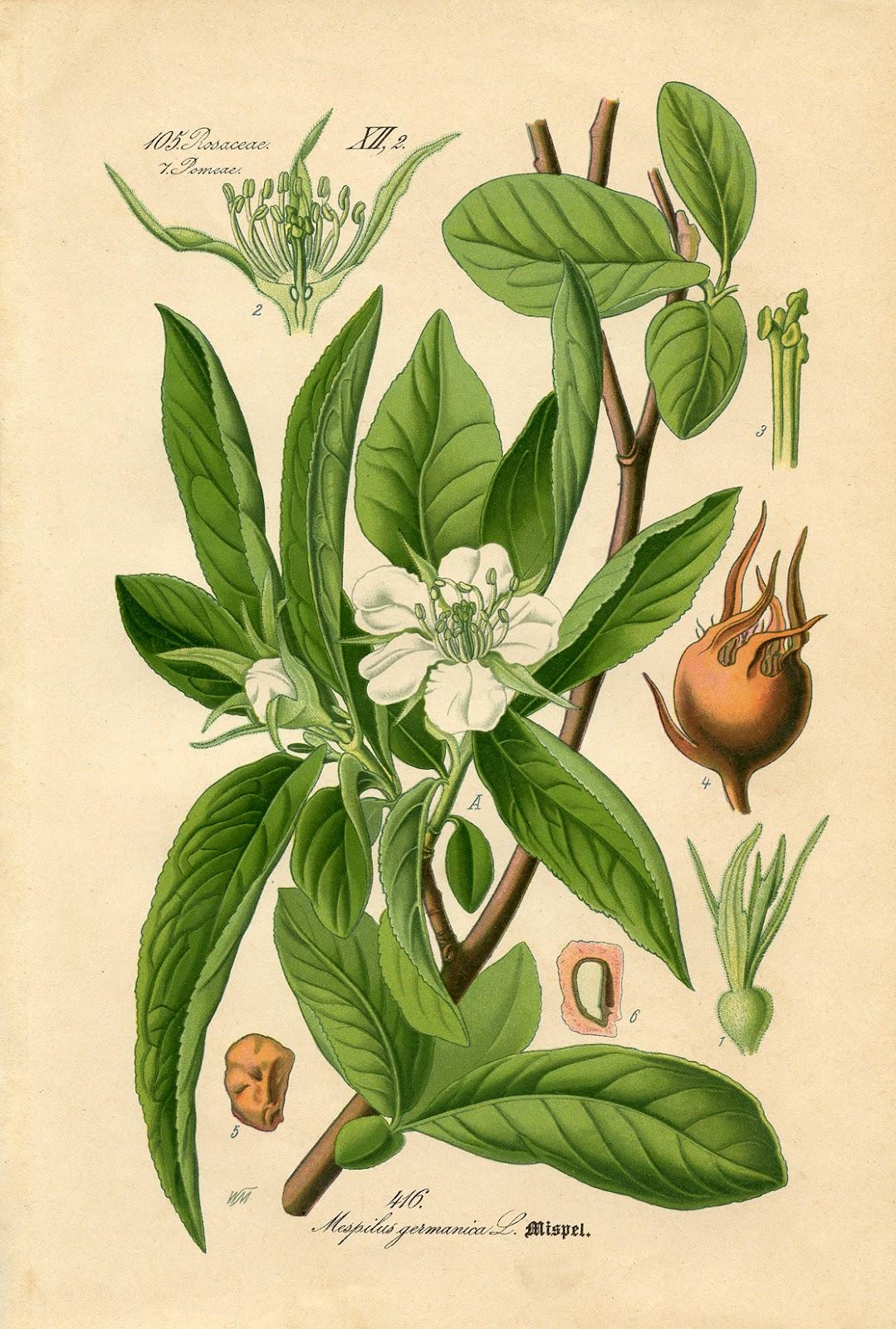 http://1.bp.blogspot.com/-oKUqT6j88qg/T8gSyDWU9_I/AAAAAAAASFA/AzmzM4HKAvk/s1600/Botanical-Printable-GraphicsFairy22sm.jpg