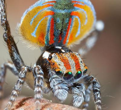 العنكبوت الطاووس peacock-spider-jurge
