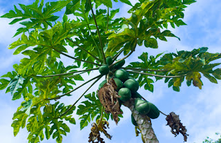 papaya leaf tree