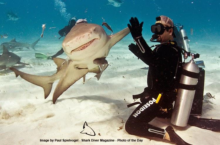 buzo nadando con tiburon