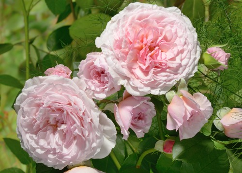 James Galway rose сорт розы фото саженцы кусты