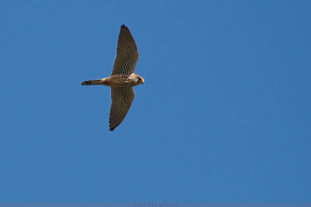 Torenvalk - Common Kestrel - Falco Tinnunculus