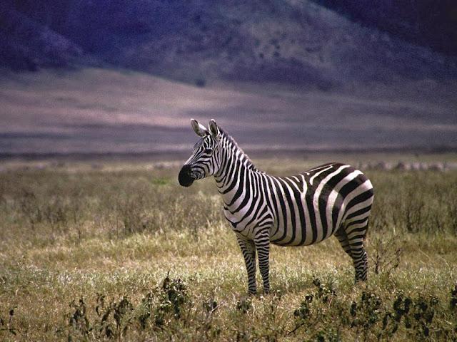 """<img src=""""http://1.bp.blogspot.com/-oLykk6DRgak/UrGm32l2mzI/AAAAAAAAF7c/rXoM_iCgrgU/s1600/dddddddd.jpeg"""" alt=""""Zebra Animal wallpapers"""" />"""