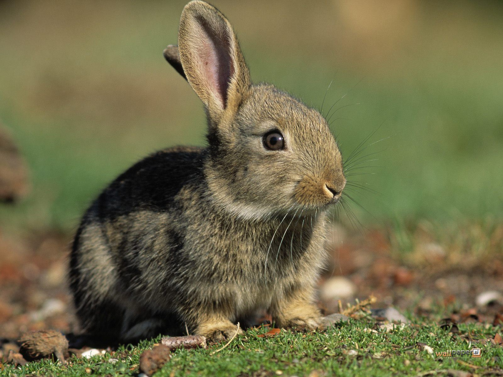 hd animals rabbit wallpaper
