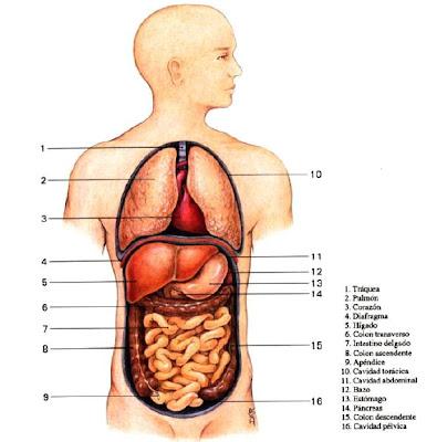 Anatomía del aparato digestivo | URGENCIAS Y EMERGENCIAS ...