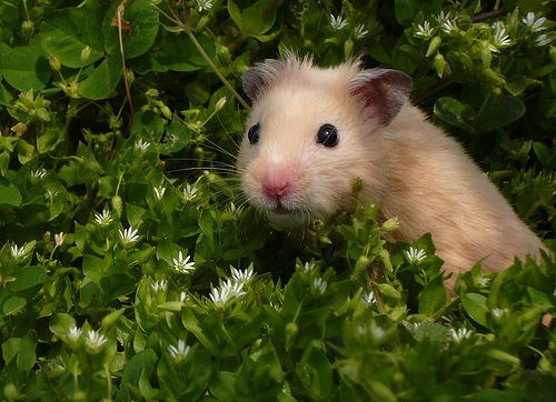 Hamster by turquoise field