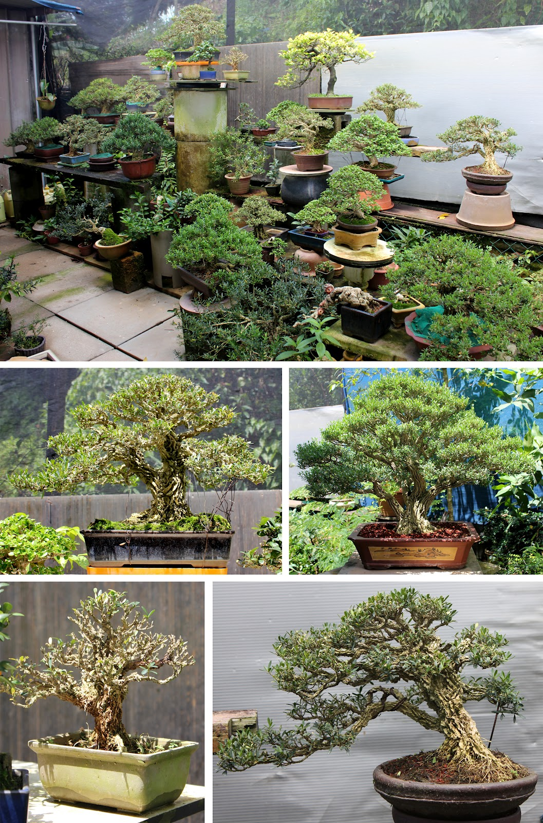 Kigawa39s Bonsai Blog Cheng Tai Nursery Singapore