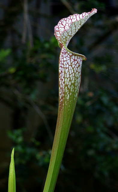 Sarracenia leucophylla - Whitetop Pitcher Plant