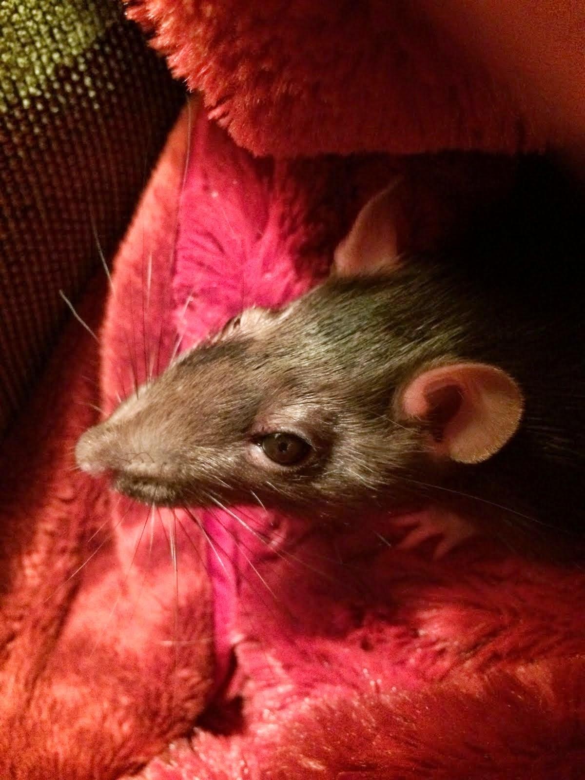 Rats get a bad rap