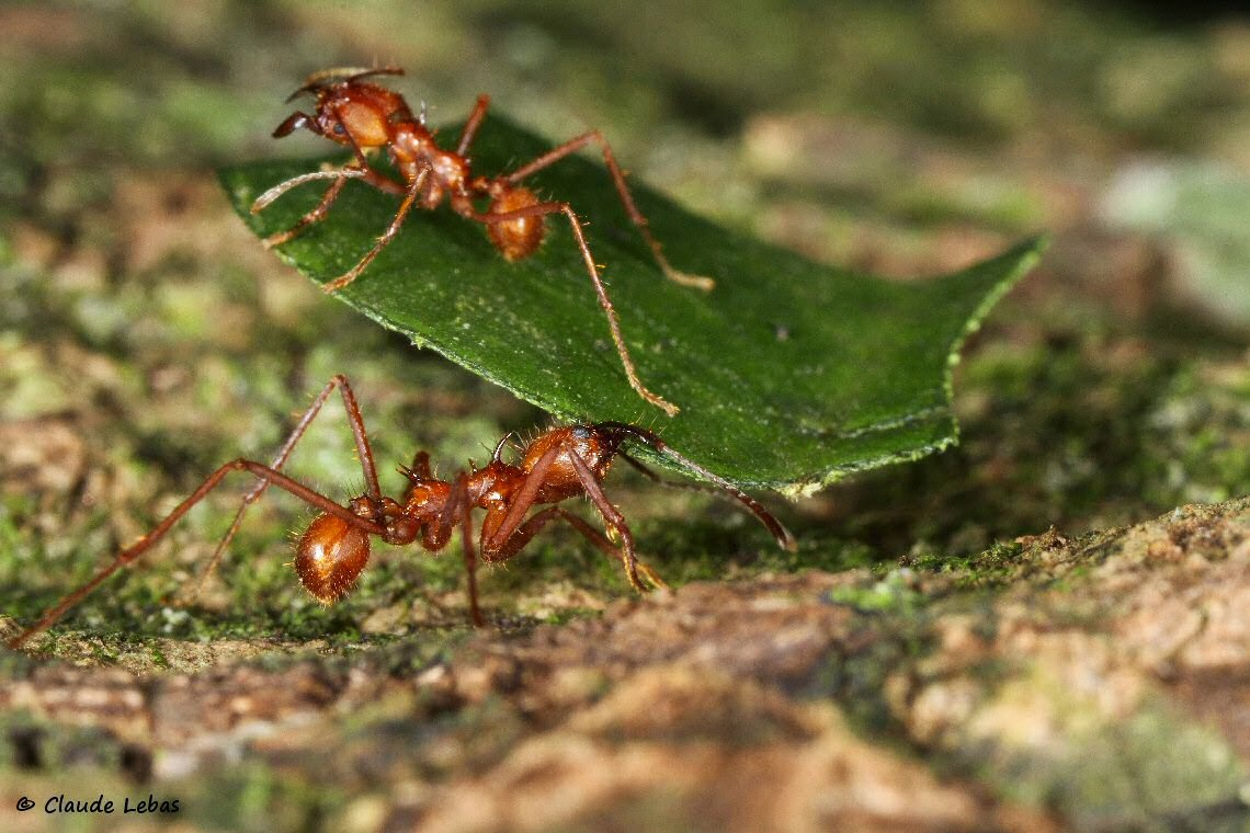 fourmis du mexique atta cephalotes. Black Bedroom Furniture Sets. Home Design Ideas