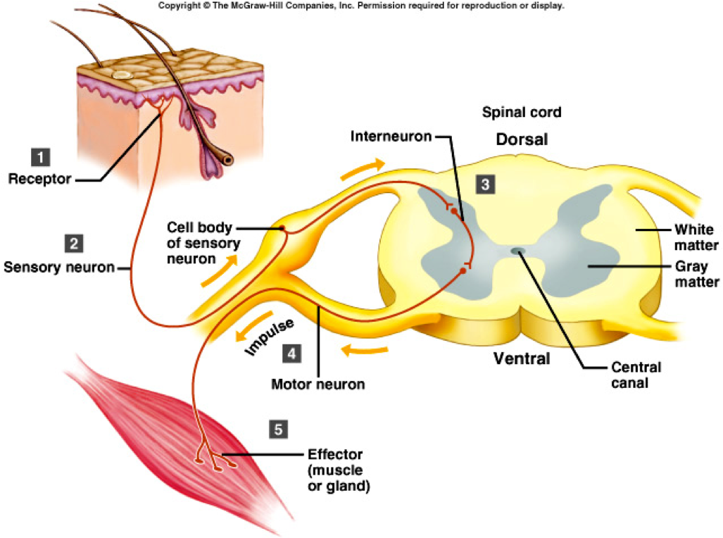 nervous system and reflex arc Sympathetic nervous system home principles of manual medicine sympathetic  reflex arc  a few of the preganglionic neurons enter the spinal nerves directly  from the spinal cord  video thumbnail for autonomicreflex-1 5 segments 0:00.