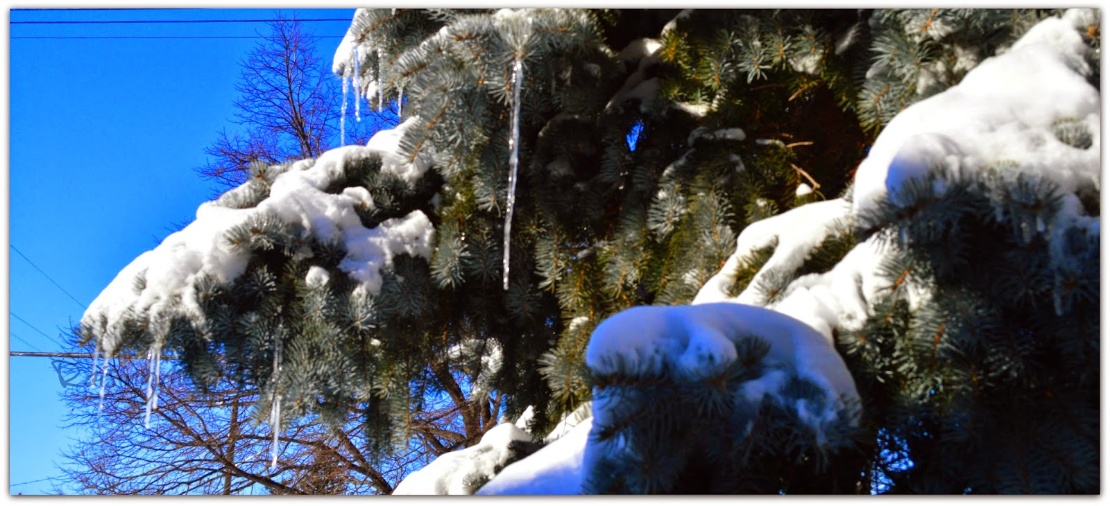 pine tree covered in snow icicles