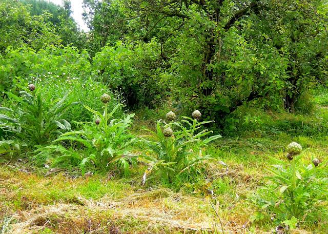 garden artichokes