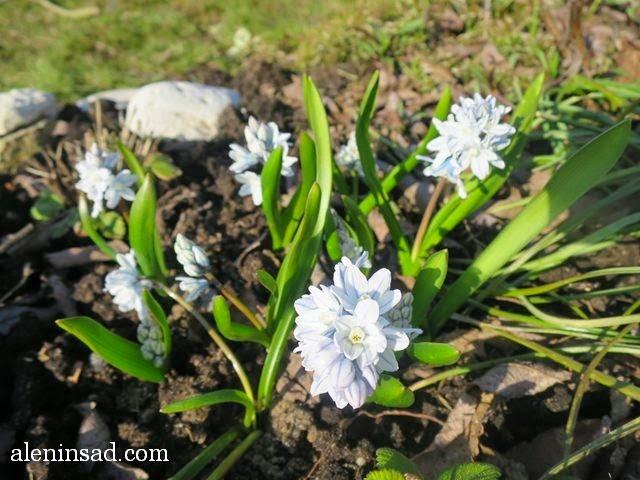 пушкиния, Puschkinia scilloides, фото пушкинии, аленин сад, апрель в саду, цветы в апреле, голубые цветы