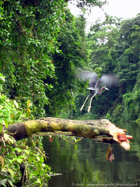 Heron taking off, Tortuguero National Park, Costa Rica