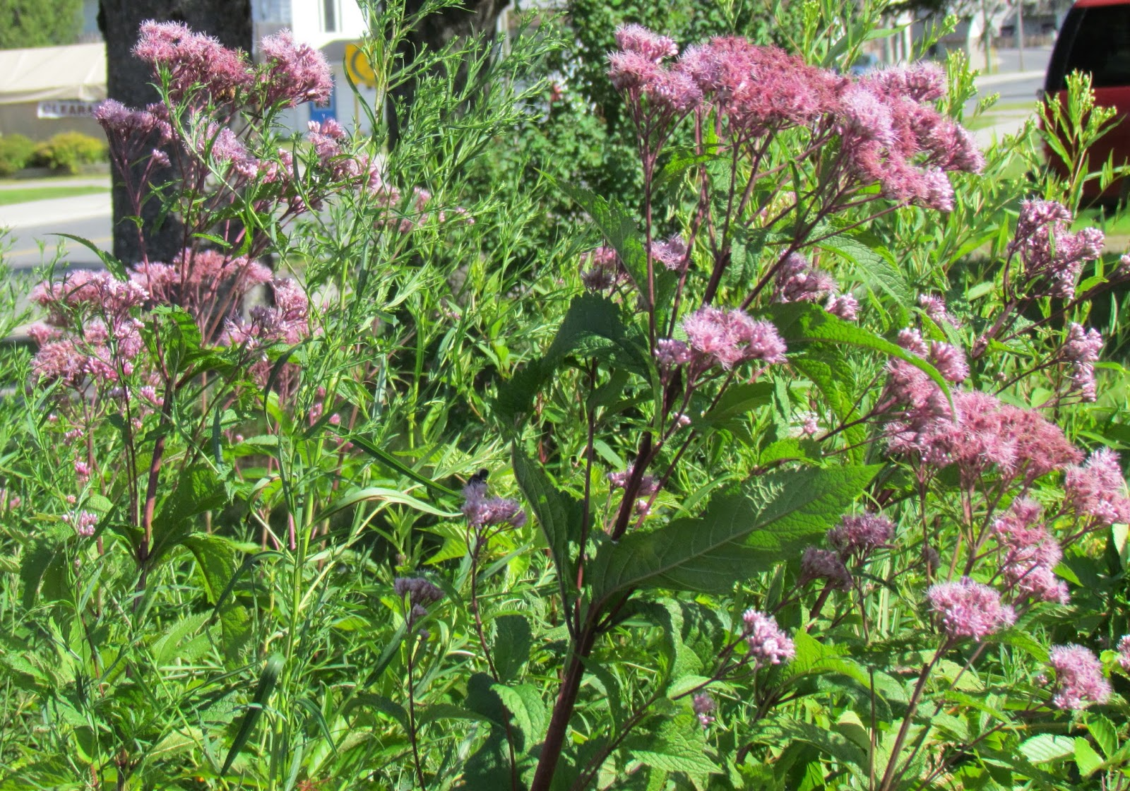 Crafts and stuff wildflower wednesday for Joe pye weed