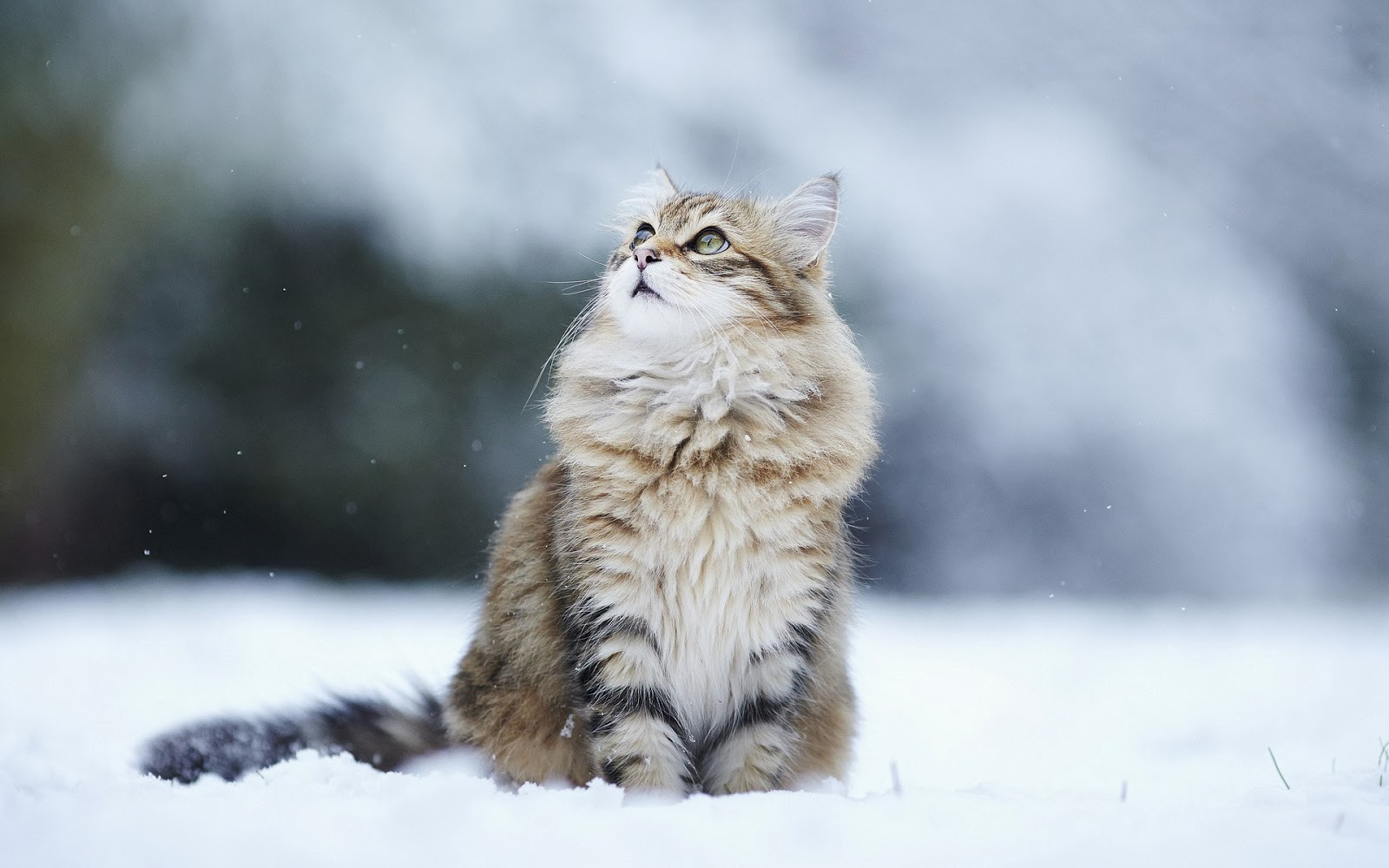 My pictures Snow+White+Cat+HD+Wallpaper