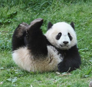 Oso Panda gigante jugando sobre el pasto