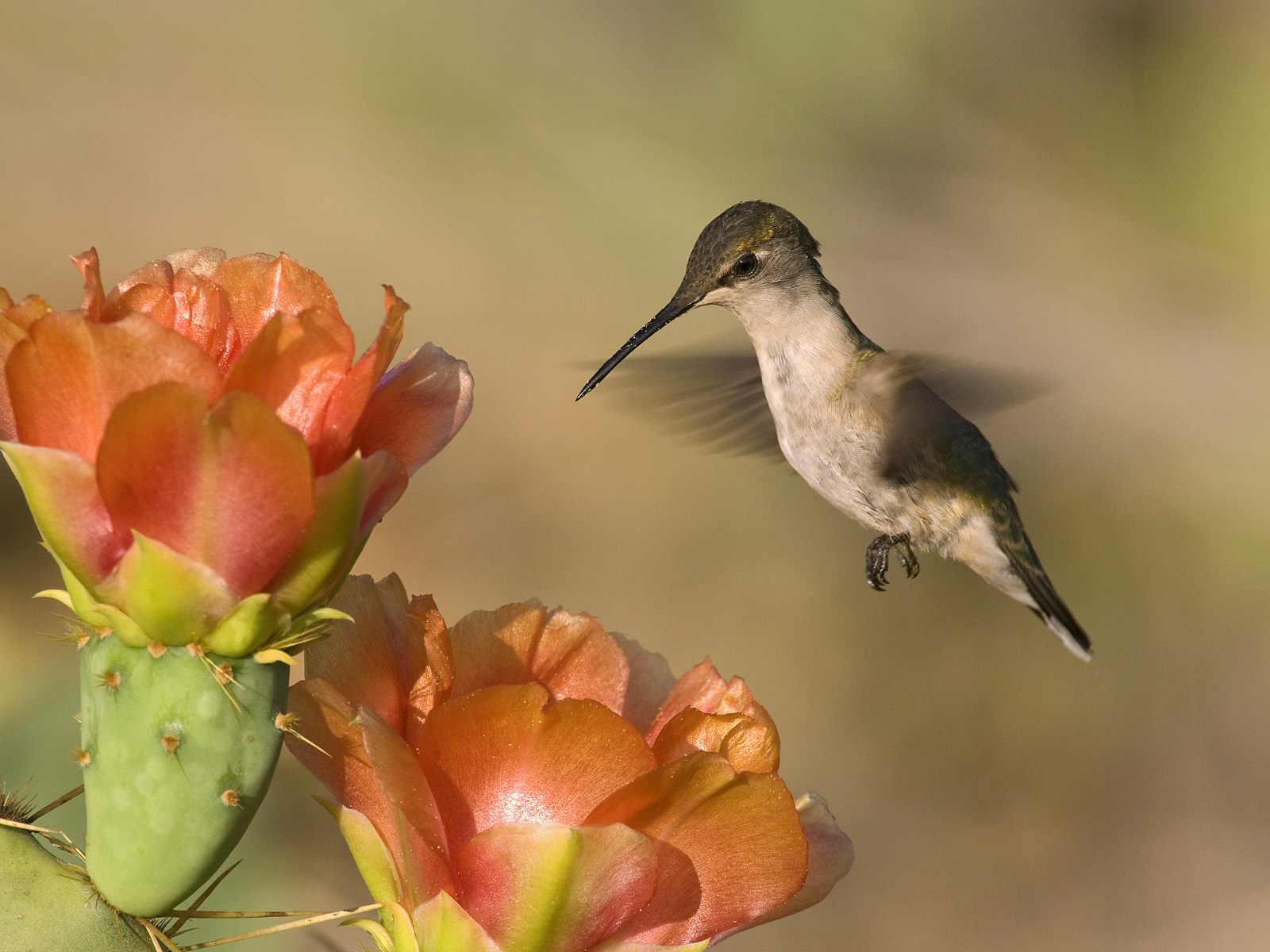 http://1.bp.blogspot.com/-oNzeQqnoUUk/TvSeZyqMFOI/AAAAAAAAA8o/8FfnGpIYDNI/s1600/Ruby-Throated_Hummingbird_and_Cactus_Flowers_Texas.jpg