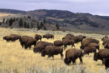 Where Do the Buffalo Roam Today?