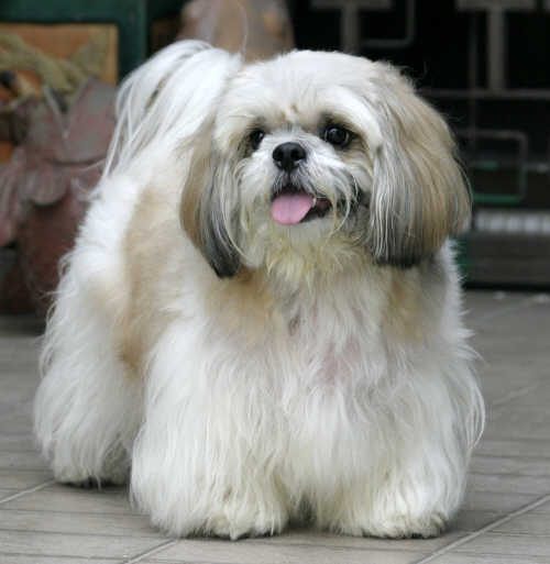 shih tzu club astc shih tzu dog breeding should endeavor to develop